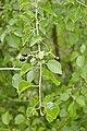 Prunus mahaleb bray-sur-somme 80 25062007 2.jpg