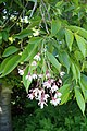 Prunus subhirtella 'Pendula Rosea' kz01.jpg