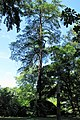 Pseudolarix amabilis Modrzewnik chiński 2011-06-23 01.jpg