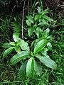 Psychotria hawaiiensis var. hillebrandii (5516719396).jpg