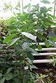 Psychotria punctata - Botanischer Garten, Dresden, Germany - DSC08547.JPG