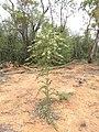 Psydrax oleifolia in flower at Narrabri.jpg