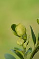 Psylla buxi on Buxus sempervirens (31920389405).jpg