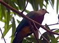 Ptilinopus magnificus 4zz.jpg