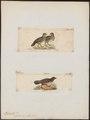 Ptilopachus ventralis - 1700-1880 - Print - Iconographia Zoologica - Special Collections University of Amsterdam - UBA01 IZ17100003.tif