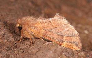 Ptilophora plumigera.jpg