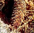 Pucciniastrum areolatum.jpg