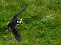 Puffin returning to nest (9384140933).jpg