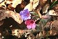 Pulmona officinalis ENBLA05.jpg