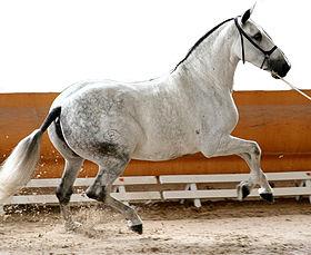 cheval espagnol 4 lettres