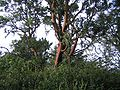 Purisima Creek madrone.jpg
