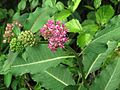 Purple Milkweed - Flickr - treegrow.jpg