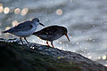 Purple Sandpiper (Calidris maritima) with a Sanderling (Calidris alba) (15837207850).jpg