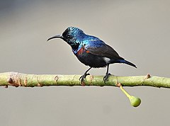 Purple Sunbird (Nectarinia asiatica)- Male (Breeding) on Kapok (Ceiba pentandra) in Kolkata I IMG 1893.jpg