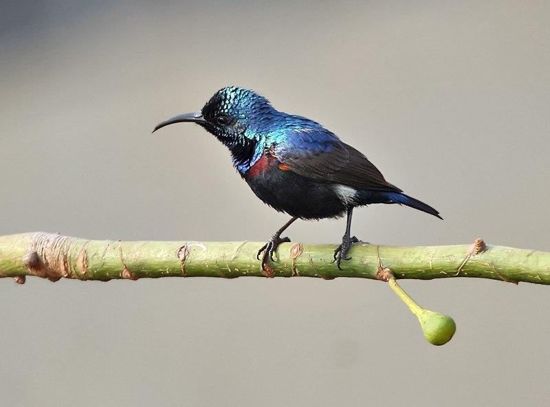 Purple Sunbird (Nectarinia asiatica)- Male (Breeding) on Kapok (Ceiba pentandra) in Kolkata I IMG 1893