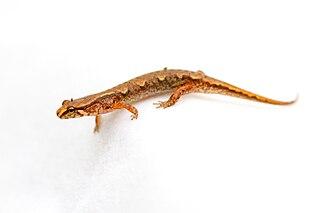Pygmy salamander species of amphibian