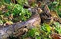 Python molurus in Koshi Tappu Wildlife Reserve.jpg