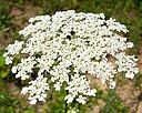 Queen Annes Lace (1028280962)