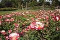 Queen Mary's Garden IMG 4431.jpg