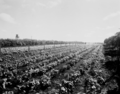 Queensland State Archives 1751 Bean plots Redlands June 1955.png