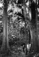 Queensland State Archives 2103 Palm Grove Tamborine Mountain c 1934.png