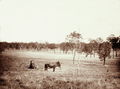 Queensland State Archives 2312 Grazing land with driver and sulky in foreground at Jimbour Station 1897.png