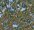 Quickstick (Gliricidia sepium) flowering canopy in Kolkata W IMG 4436.jpg