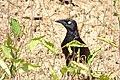 Quiscalus lugubris (Chango llanero) - Flickr - Alejandro Bayer (1).jpg