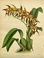 R. Warner & B.S. Williams - The Orchid Album - volume 04 - plate 186 (1885).jpg