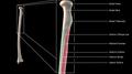 Radius Anteiror Proximal.png