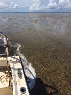 Florida Bay - Rafts of dead seagrass in Florida Bay. 2015.