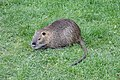 Ragondin (Myocastor coypus) (54).jpg