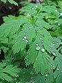 Raindrops, saddle mountain (733249134).jpg