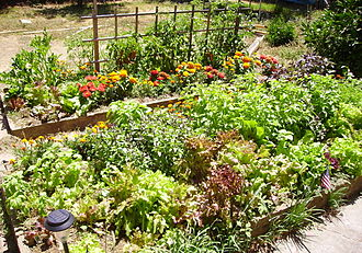 Raised-bed gardening - Raised garden bed of lettuce, tomatoes, basil, marigolds, zinnias, garlic chives, zucchini.