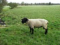 Ram at Wallhouses - geograph.org.uk - 1027215.jpg