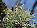 Ramalina farinacea 108892529.jpg