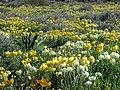 Ranunculus asiaticus3LEST.jpg