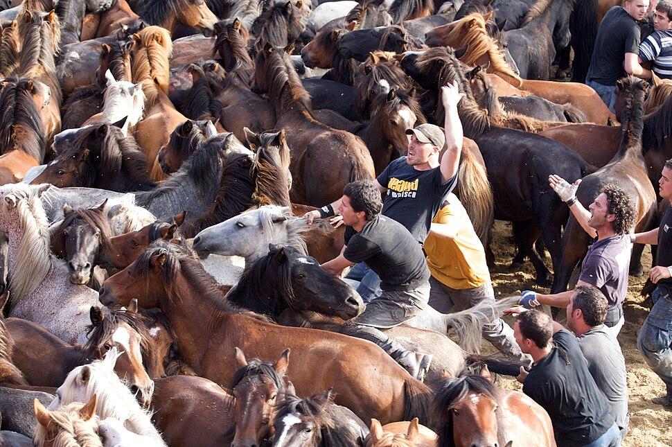 Rapa Das Bestas no curro de Sabucedo, A Estrada, Galicia