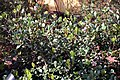 Raphiolepis Springtime 3zz.jpg