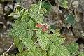 Raspberry (Rubus sp) 3762.jpg
