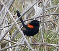 Red-backed Fairy-wren. Male. Malurus melanocephalus. (15635305820).jpg