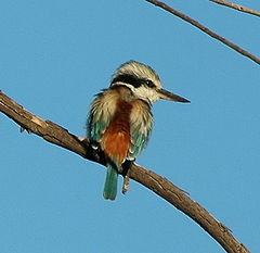 Red-backed Kingfisher Bowra apr07.JPG