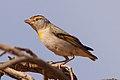 Red-browed Pardalote (Pardalotus rubricatus) (8079659546).jpg
