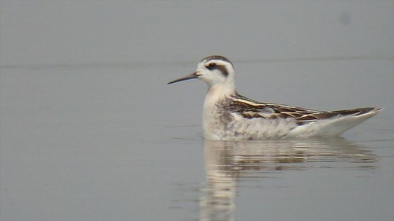 File:Red-necked Phalarope (8372229236).jpg