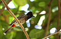 Red-vented Bulbul - Pycnonotus cafer.JPG