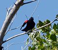 Red-winged Blackbird. Agelaius phoeniceus - Flickr - gailhampshire.jpg