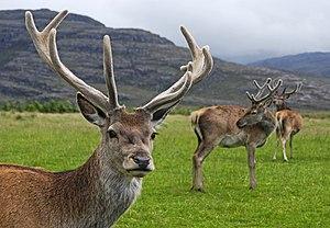 Red deer stag (Cervus elaphus) with velvet ant...