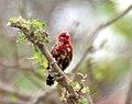 Red Avadavat (Amandava amandava) W2 IMG 0447.jpg