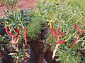Red Chilli Plants in Pune.jpg