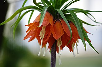 Fritillaria imperialis - Image: Red Flower 777
